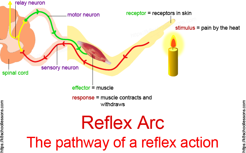 Reflex arc: The pathway of a reflex action